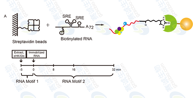 RNA Pull-down model figure S.A