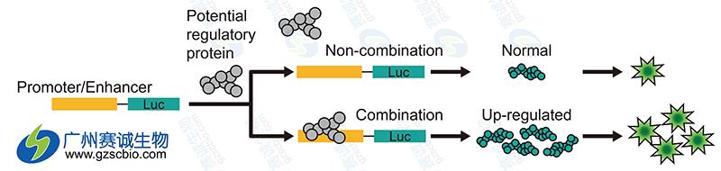 荧光素酶实验步骤