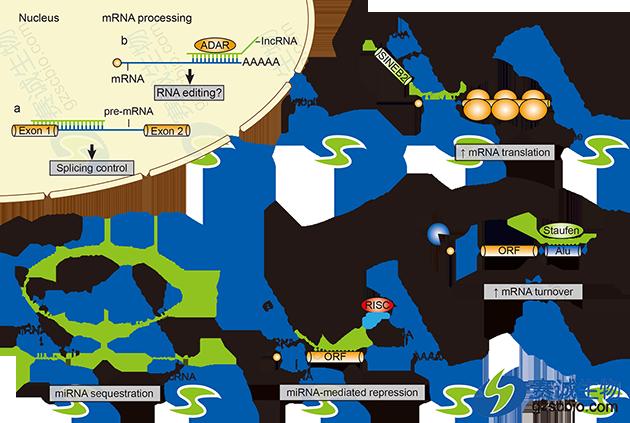 lncRNAs转录后调控作用机制.png