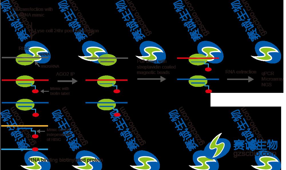 生物素化的miRNA pull-down.png