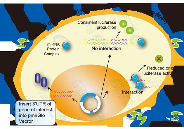 3'-UTR报告基因基本实验流程.png