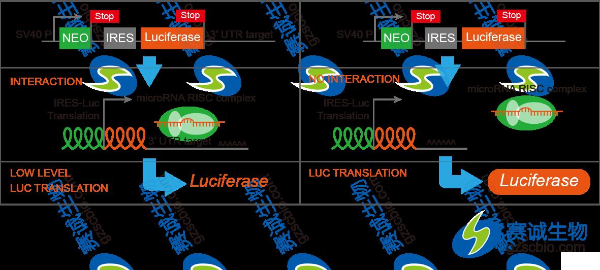 3'-UTR报告基因验证miRNA直接作用情况.png