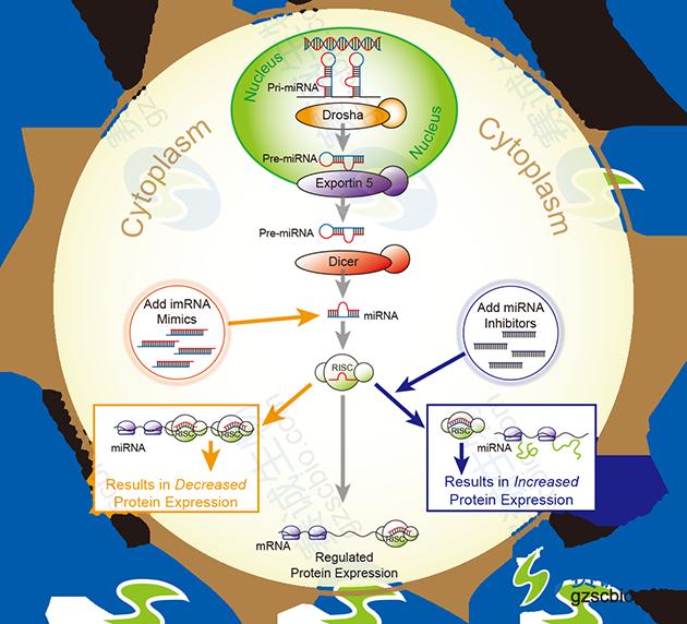 miRNA的上调与下调验证miRNA直接作用情况.png