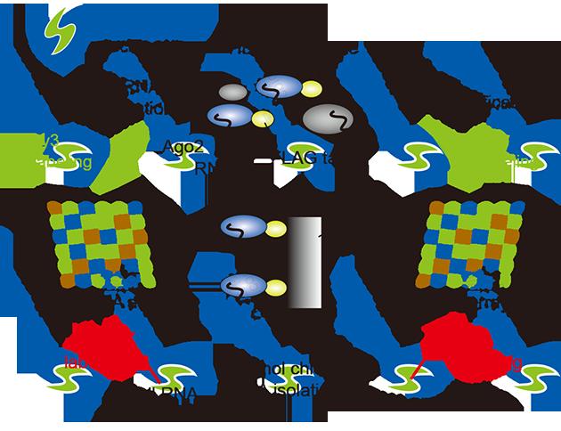 结合AGO2的RNA的系统分选与鉴定.png