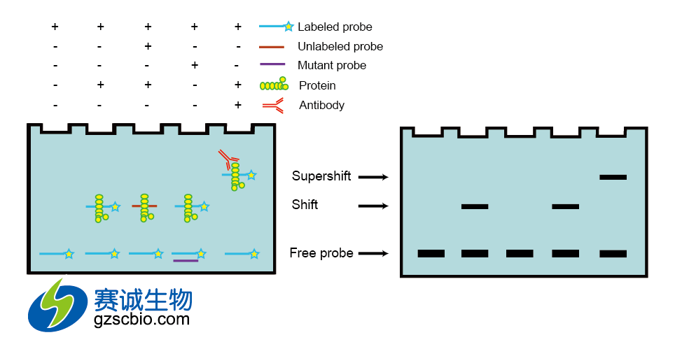 electrophoretic mobility shift assay protocol Perhaps the most common technique used in the study of dna-binding proteins is the electrophoretic mobility shift assay (emsa) or gel shift assay it can be used with crude protein mixtures or.